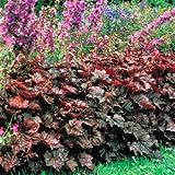 Outsidepride Heuchera Palace Purple - 2000 Seeds