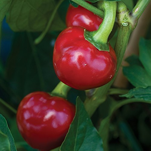 Burpee Large Cherry Hot Pepper Seeds 150 (Cherry Round Bed)