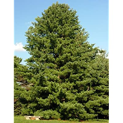 Korean Pine - The Source of Pine Nuts - 2 Year Live Plant : Grass Plants : Garden & Outdoor