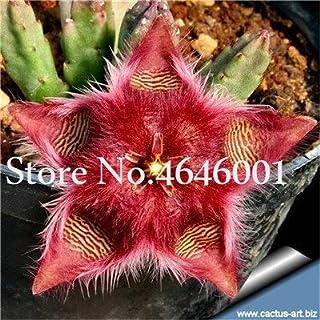 Pinkdose 100 Pz Stapelia Pulchella bonsai Lithops Mix Succulente Pietra Grezza Cactus pianta Rare Per La Casa Giardino Fiore Bonsai Piante: 16