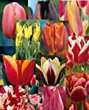 Tulip - Spring Surprise Pack - 25 bulbs