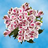 GlobalRose 120 Blooms of Bi-Color Fancy Alstroemerias 30 Stems - Peruvian Lily Fresh Flowers for Delivery