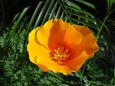 California Poppy Seed Balls - Bulk Seed Balls for Seed Bombing (Eschscholzia californica)