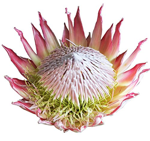 P. Cynaroides protea, King protea Pink, the world best Cutting flower, exotic #1 flower head like a 10 to 12 inches dinner (Pink Protea)