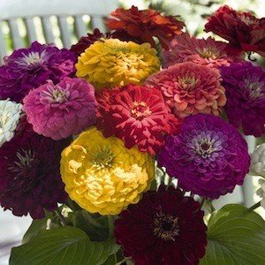 250 Giant California Zinnia Seeds/ Free Shipping