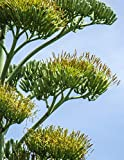 Notebook: Agave Mexico Tequila Yucca Plant Nectar