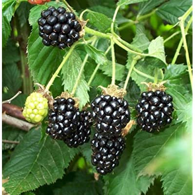 100 BLACKBERRY Seeds, Wild Blackberries are full of Nutrients, and Very Sweet : Garden & Outdoor