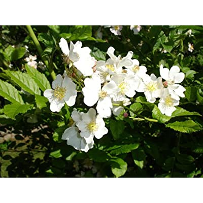 White Rugosa Rose, Rosa rugosa albiflora, Shrub Seeds (Fast, Hardy, Fragrant) (100) : Garden & Outdoor