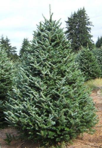 Fraser Fir Christmas Trees.1 000 Fraser Fir Christmas Tree Seeds Abies Fraser Fir