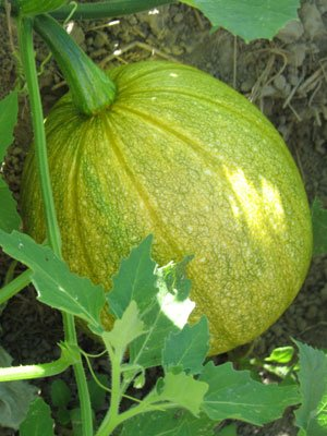 David's Garden Seeds Squash Summer Tatume SS1624O (Yellow) 50 Heirloom Seeds