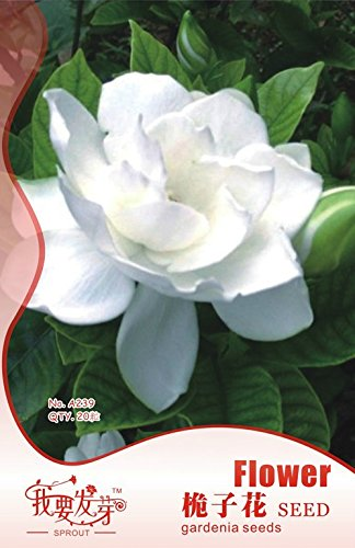 2018 Hot Sale!! Maslin Gardenia Jasminoides Cape Jasmine Heirloom Seeds, 28 Seeds, Strong Fragrant Danh-Danh Jasmin BD066H