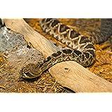 Les serpents à sonnettes sont grands (French Edition)