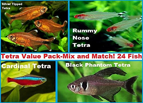 Live Freshwater Aquarium Fish - (24 + 3) Terrific Tetra Pack - Choose Three Species - 24 + 3 Free Tetra Value Pack - Mix and Match Any 3 - by WorldwideTropicals - Populate Your Fish (Silvertip Reef Shark)