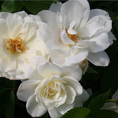 1 Potted Own Root of Iceberg Rose White Floribunda Shrub Rose Organic ()