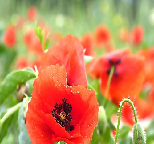 Poppy Flower Seeds - BIG PACK - (50,000) Perennial Orange-Scarlet Oriental Poppy Flower Seeds - Papaver orientale - Non-GMO Seeds By MySeeds.Co (BIG PACK - Oriental Poppy)