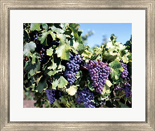 Close-up of Cabernet Grapes, Nuriootpa, Barossa Valley, Adelaide, South Australia, Australia Framed Art Print Wall Picture, Silver Scoop Frame, 28 x 24 inches