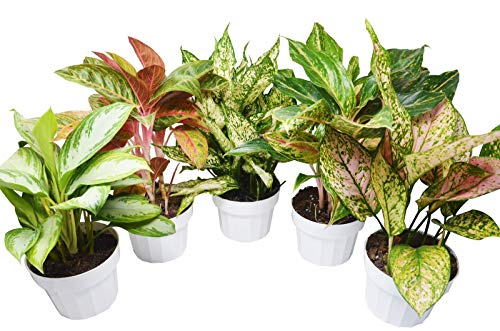 5 Chinese Evergreen Variety Pack - Aglaonema - Free Care Guide - 18
