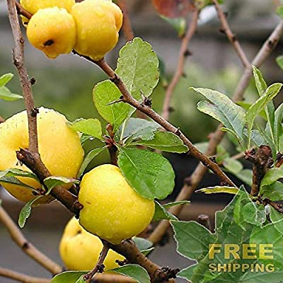Japanese Quince Chaenomeles Japonica - 8 Seeds : Garden & Outdoor