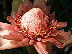 Asklepios-seeds® - 100 seeds Ettlingera elatior, torch ginger, ginger flower, red ginger lily, torch lily, wild ginger, combrang, bunga kantan, Philippine wax flower