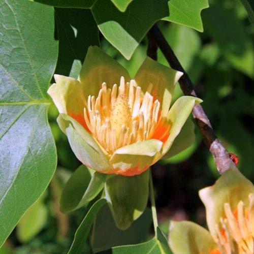 H. 200 cm. - Albero dei tulipani Liriodendro Liriodendron tulipifera