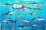 Puerto Rico Sharks & Rays Guide Franko Maps Laminated Fish Card