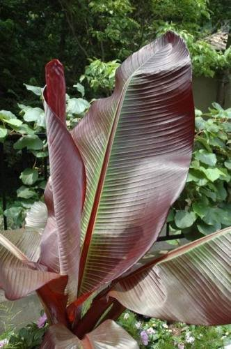 Amazon Com New And Healthy 1 Pcs Ensete Maurelii Red Abyssinian