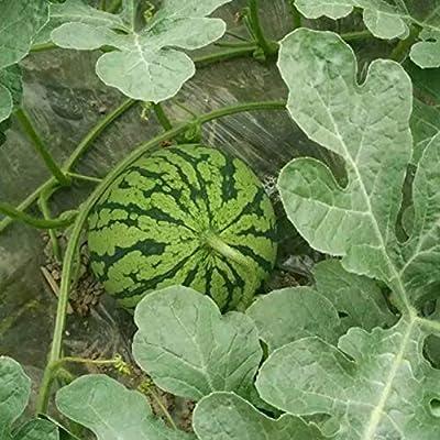 Oyov2L 160Pcs Watermelon Seeds Sweet Summer Juicy Fruit Garden Yard Farm Field Plant Easy Grow Seeds Decorative Plants Watermelon Seeds : Garden & Outdoor
