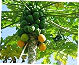 PIW 1 Papaya Live Plant, Juicy Orange Fresh Papaya - RK267
