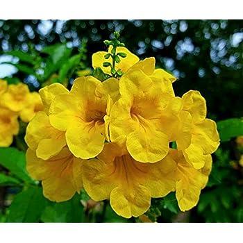 Amazon tecoma stans yellow elder esperanza trumpetflower tecoma stans yellow elder esperanza texas yellow bells 25 fresh seeds mightylinksfo