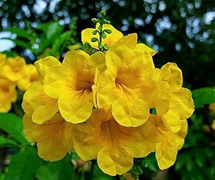 Amazon tecoma stans yellow elder esperanza texas yellow tecoma stans yellow elder esperanza texas yellow bells 25 fresh seeds mightylinksfo