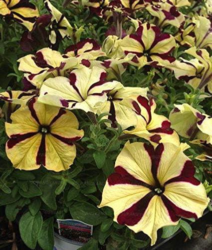 AGROBITS 100 Unidades de Plantas de Flores de Petunia Raras Hermosas Flores de Petunia del jardín Plantas para Jardin árbol Bonsai de Interior para la decoración del jardín: Blanco: Amazon.es: Jardín