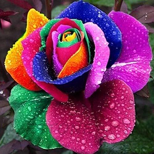 Colored Beautiful Multi (200 Pcs Beautiful Rainbow Rose Seeds Multi-Colored Rose Seeds Rose Flower Seeds)