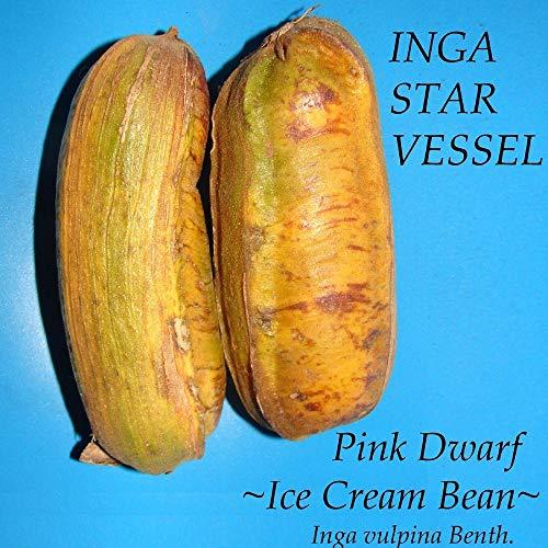 - Inga Star Vessel Inga Vulpina Pink Dwarf Ice Cream Bean Live Small Pot'd Plant A5