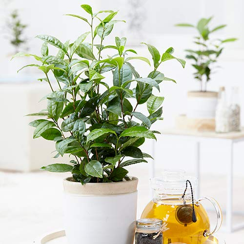 Camellia Sinensis - 1 Gallon Container - Large & Beautiful Live Tea Plant - Brew Your Own Black, White, Green & Oolong Tea by Florida Foliage (Image #2)