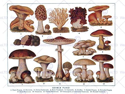 Drawing Edible Fungi Mushrooms Scientific Plant Cm Art Print Poster