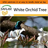 SAFLAX - Garden in the Bag - White Orchid Tree - 5 seeds - Bauhinia variegata candida