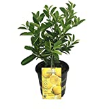 "Ponderosa Lemon Tree - Fruiting Size - 8"" Pot -NO Ship to TX, FL, AZ, CA, LA, HI"