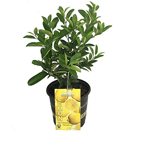 Four Seasons Eureka Lemon Tree - Fruiting Size/Well Branched - 8'' Pot by Hirt's Gardens