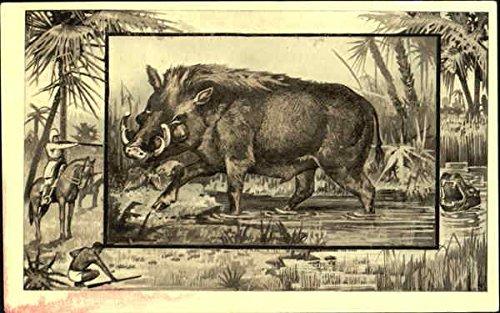 The Wart Hog Pigs Original Vintage Postcard (Warthog Pig)
