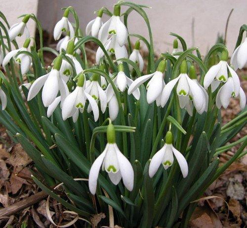 Snowdrops 15 Bulbs - Galanthus woronowii - Deer Proof-Hardy - 7/+ cm Bulbs by BULBS (Image #1)