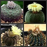 Frailea Mix rarest and exotic cactus 5 seeds~Not Agave or Aloe Plants