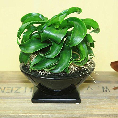 観葉植物:ドラセナトルネード 陶器鉢 受け皿付 根元皮飾り