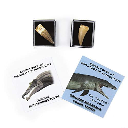 - Set of 2 Authentic Dinosaur Teeth Fossils (1 Mosasaur Tooth and 1 Spinosaurus Tooth) Each in a Museum Case, with Exclusive Beverly Oaks Certificate of Authenticity