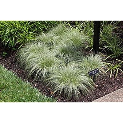 Carex comans ' Mist'- Ornamental Grass Seed - Perennial (100 Seeds) by AchmadAnam : Garden & Outdoor