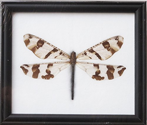 FRAMED REAL BEAUTIFUL GIANT DRAGONFLY DISPLAY INSECT TAXIDERMY