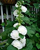 Hollyhock Chater's Double White seeds - Althea rosea fl. pl.
