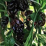 Glamouras 10 Black Cayman Pepper Seeds (Capsicum chinense) Organic Non-GMO Hot Peppers