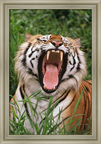 - Framed Canvas Wall Art Print | Home Wall Decor Canvas Art | Bengal Tiger Yawning, Hilo Zoo, Hawaii by Gerry Ellis | Modern Decor | Stretched Canvas Prints