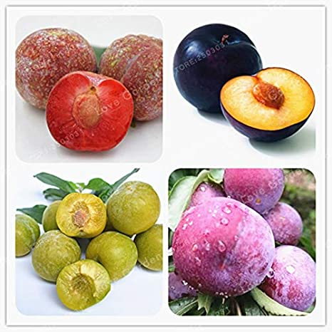70 Family Rosaceae Prunus Cerasifera Seeds Ornamental Seeds Cherry