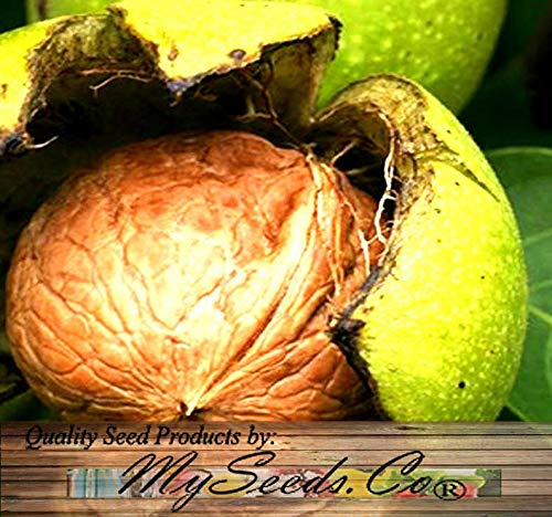 Risalana Paradox Black Walnut - Juglans x Paradox - Tree Seeds - Fast Growing Variety is Hardy to Zone 8, Choose from 5 or 25 (Pkt Size - 5 Seeds) (Growing A Black Walnut Tree From Seed)